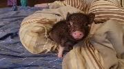 Пугливая маленькая свинка