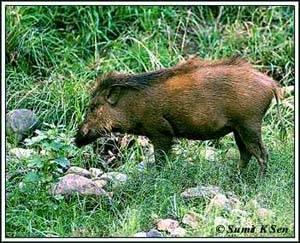 Свинья карликовая  (Sus salvanius)
