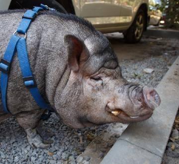 ЧМ по футболу и свиньи