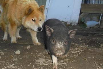 Как росла свинка Дося