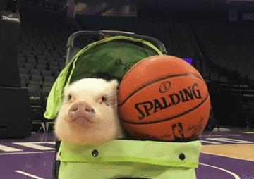 Мини пиг подался в баскетбол