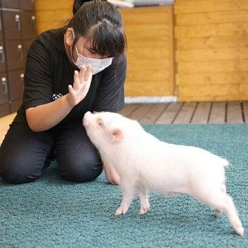 Антикафе Pignic Farm and Cafe в Токио: выбери себе мини-пига