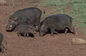 Свинья лесная большая  (Hylochoerus meinertzhageni)