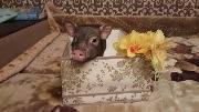 Свинка прячется в коробке