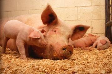 Температура у свиней нормы