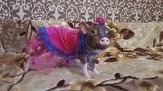 Показ мод, свинка на подиуме