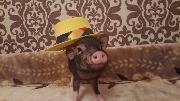 Свинка в шляпе, свинья ковбой
