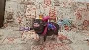 Свинья примеряет наряды