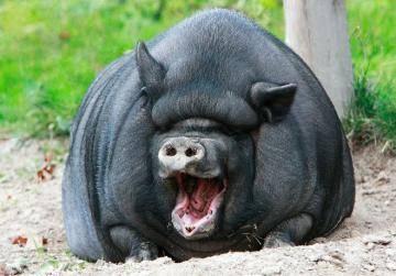 слоты свиньи