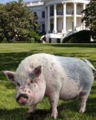 Мини пиг в Белом Доме