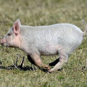 Народные приметы и суеверия о свиньях: хочешь верь – хочешь не верь
