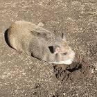 Свиньи в жару: как пережить жаркое лето