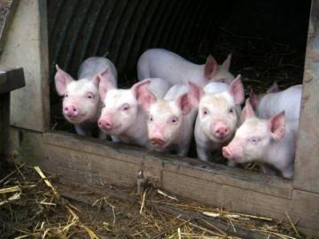 У хорошего хозяина свинка, как картинка или как правильно держать свиней?