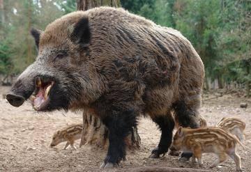 Дикие кабаны – грозный предок домашней свиньи