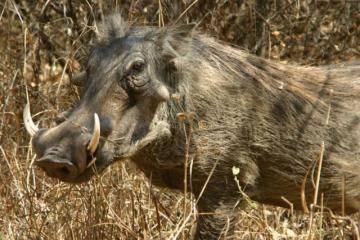 Виды диких свиней