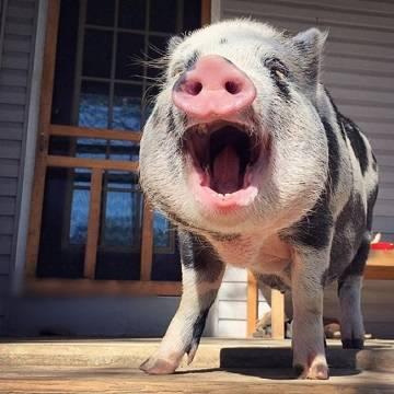 Почему свиньи скрипят зубами
