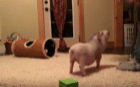Мини пиг делает трюки