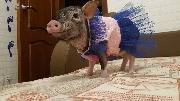 Свинья в наряде, свинюшка