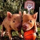 Йога со свиньями – правильная йога