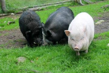 Кто такие мини пиги, и с чем их едят?