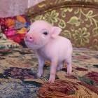 Iowa Mini Pig Rescue – спасение брошенных поросят