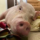 Понятный сонник: к чему снится свинья