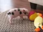 Мини пиг играет в мяч