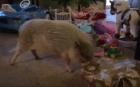 Рождество мини пига Гамлета