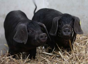 Черные породы свиней: от беркшеров до мини-пигов