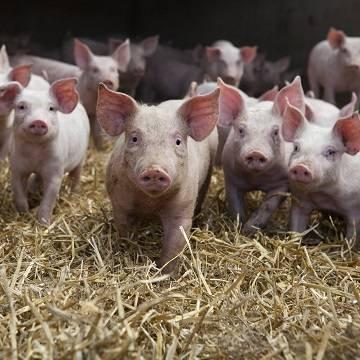 Где больше всего свиней… Интересная статистика