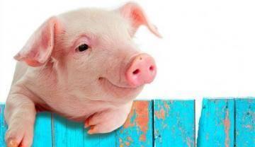 Свиноматка не встает на задние ноги