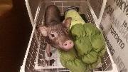 Свинка кушает брокколи