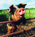 Свиньи – самые близкие к людям животные по анатомическому строению
