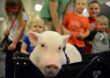 Свинья в библиотеке