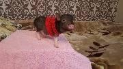 Специальная жилетка для свинки