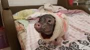 Свинка, свинья в пижаме
