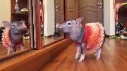 Свинка позирует, свинья перед зеркалом